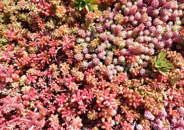 détails de végétalisation avec diférents types de sedums